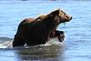 Brown_Bears_Swimming_Alaska (7)