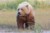 Brown_Bear_Mother_Alaska (30)