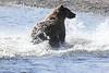 Brown_Bears_Swimming_Alaska (1)