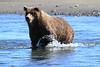 Brown_Bears_Swimming_Alaska (10)