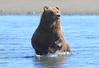 Brown_Bears_Swimming_Alaska (11)