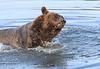 Brown_Bears_Swimming_Alaska (29)