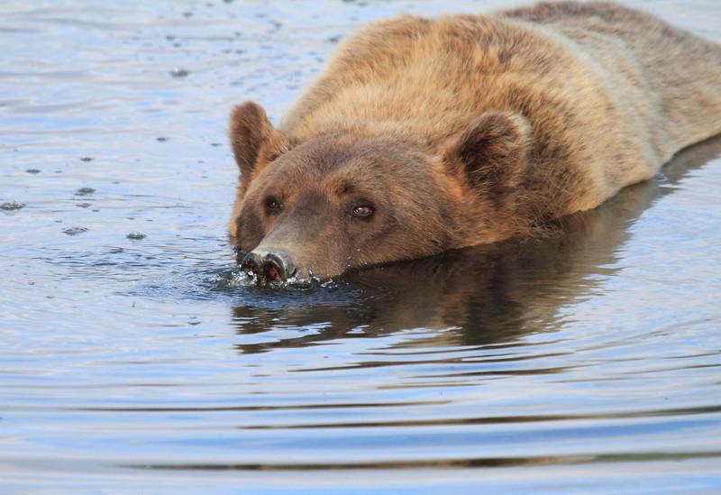 Brown_Bears_Swimming_Alaska (23)