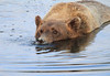 Brown_Bears_Swimming_Alaska (23)