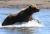 Brown_Bears_Swimming_Alaska (19)
