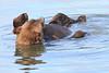 Brown_Bears_Swimming_Alaska (22)