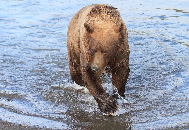 Brown_Bears_Swimming_Alaska (31)