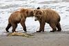 Bear_Beach_Fighting_Silver_Salmon__0028