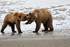 Bear_Beach_Fighting_Silver_Salmon__0009
