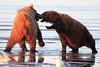 Borwn_Bears_Fighting_Alaska (3)
