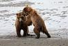 Bear_Beach_Fighting_Silver_Salmon__0023