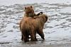 Bear_Beach_Fighting_Silver_Salmon__0002