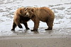 Bear_Beach_Fighting_Silver_Salmon__0006
