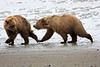 Bear_Beach_Fighting_Silver_Salmon__0015