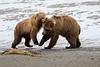 Bear_Beach_Fighting_Silver_Salmon__0030