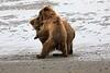 Bear_Beach_Fighting_Silver_Salmon__0019