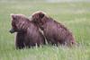Bears_Silver_Salmon_Creek__0039