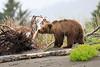 Bears_Silver_Salmon_Creek__0023