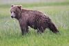 Bears_Silver_Salmon_Creek__0031