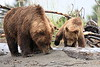 Bears_Silver_Salmon_Creek__0025