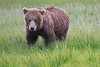 Bears_Silver_Salmon_Creek__0032
