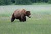 Male_Brown_Bear_Silver_Salmon_Creek__0002
