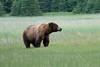 Male_Brown_Bear_Silver_Salmon_Creek__0003