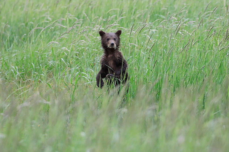 Spring_Cubs_Silver_Salmon_Creek__0004