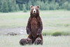 Standing_Bears_Silver_Salmon_Creek__0032