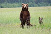 Standing_Bears_Silver_Salmon_Creek__0014