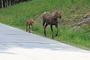 Moose_Anchorage__0005
