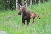 Moose_Anchorage__0003