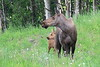 Moose_Anchorage__0002