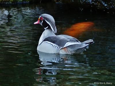 Silver Wood Duck, Fort Worth Japanese Garden