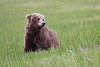 Bears_Silver_Salmon_Creek__0042