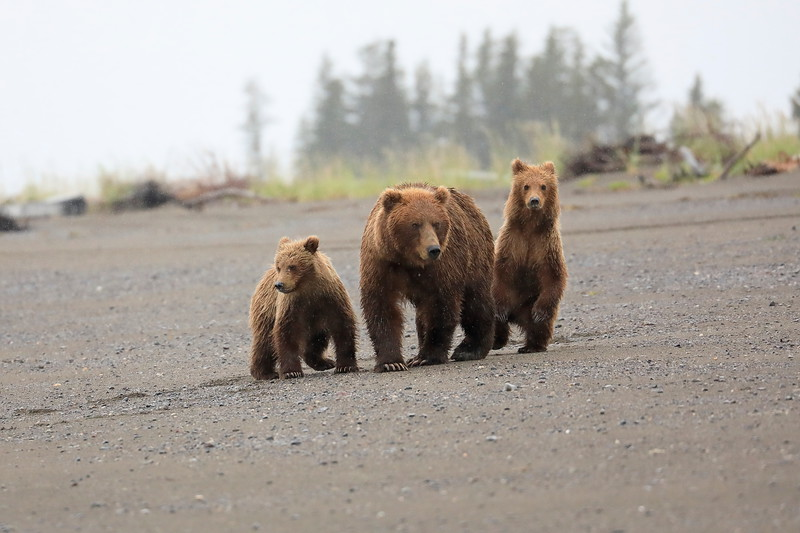 Bears_Silver_Salmon_Creek__0018