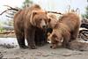 Bears_Silver_Salmon_Creek__0026