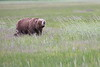 Bears_Silver_Salmon_Creek__0034