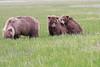 Bears_Silver_Salmon_Creek__0038