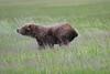 Bears_Silver_Salmon_Creek__0036