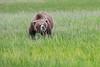 Bears_Silver_Salmon_Creek__0033