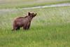 Bears_Silver_Salmon_Creek__0063