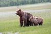 Bears_Silver_Salmon_Creek__0065