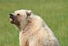 Brown_Bear_Tweens_Alaska (25)