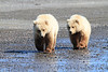 Brown_Bear_Tweens_Alaska (17)