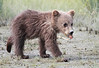 Brown Bear Cubs Alaska Silver Salmon
