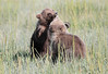 Brown Bear Cubs Alaska Silver Salmon