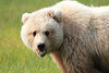 Brown_Bear_Tweens_Alaska (26)
