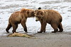 Bear_Beach_Fighting_Silver_Salmon__0028