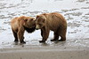 Bear_Beach_Fighting_Silver_Salmon__0008